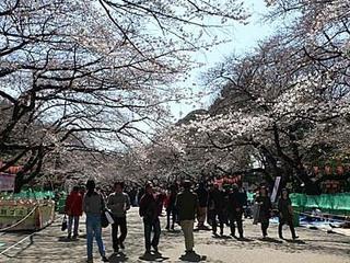 上野公園 サクラ